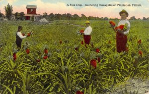 A Fine Crop Gathering Pineapples in Plantation Florida FL 1914 Divided Back PC