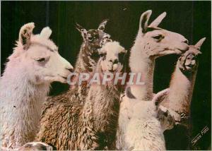 Modern Postcard Peru 1414 c llamas in the Sierra