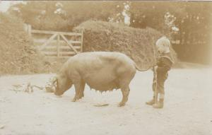 RP: Boy holds the tail of a large pig, 00-10s
