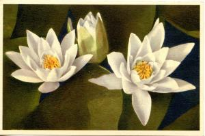 Flowers - White Water Lily             (Thor & Gyger #2049)