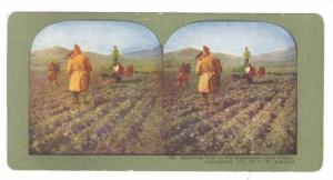 SV: China, 1890s-1900s; Gathering Fuel In The Manchurian Corn Fields (No. 200)