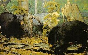 Bear Post Card Black Bears Saskatchewan Museum of Natural History 1980