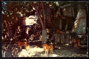 Lion Exhibit,Zoo,Detroit,MI
