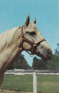 Palomino Horse Head Postcard Handsome Very Pretty Mainzer
