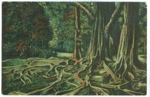 Root of an India Rubber Tree, at Colombo, Ceylon, Sri Lanka, early 1900s
