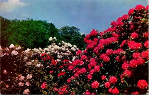 Jamaica Plain Rhodendrons Arnold Arboretum Postcard unused (13701)