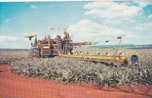 Hawaii Pineapple Harvesting Using Mechanical Harvesters