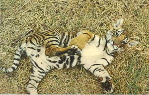 A Tiger Cub at World Wildlife Safari Winston Oregon OR PC