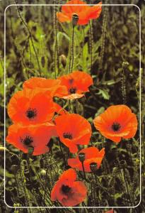 Postcard Common Poppy, Poppies - Papaver Rhoeas photo by George McCarthy K81