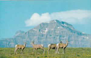 Canada Bighorn Sheep In The Canadian Rockies