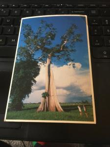 Vintage Postcard; Amazonas, Tallest Trees In the Rainforest, Brasil