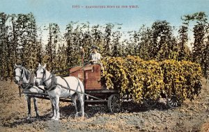 Harvesting Hops Farming in the West 1910c postcard