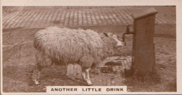 Sheep Lamb Drinking From Farm Tap Antique Real Photo Cigarette Card