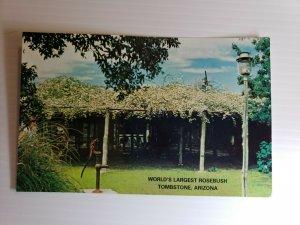 Vintage Postcard World's Largest Rose Bush Lady Banksia Tombstone Arizona  312