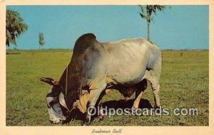 Brahman Bull Florida Pastures, USA Cow Unused
