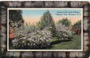New York Rochester Japanese Crab Apple Tree In Bloom In Highland Park 1911