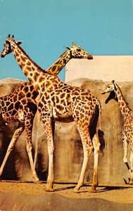 Zoos Uganda Giraffe San Diego, California, USA Unused