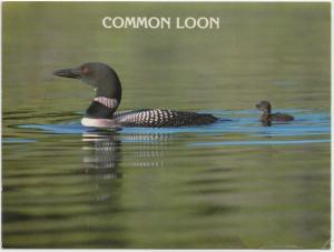 COMMON LOON, unused Postcard