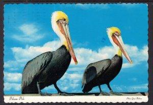 Pelicans BIN