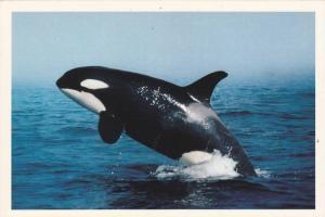 Killer Whale , Vancouver Island , B.C., Canada , 50-70s