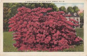 A Mobile Azalea in full bloom, Mobile, Alabama, linen Postcard
