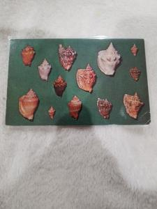 Vintage Postcard, 12. Shells of Florida and the Gulf of Mexico