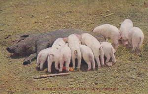 Pigs Lunch Time In Union Stock Yards Chicago 1910