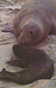 California Santa Barbara Island Elephant Seal Cow And Pup Channel Islands Nat...