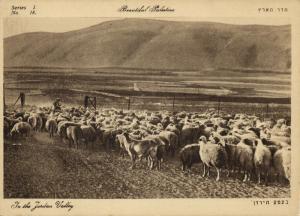 israel palestine, Sheep in the Jordan Valley (1930s) Postcard
