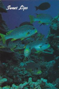 Guam Underwater Scene With Coral and Fish Sweet Lips