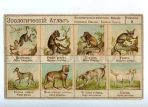 157023 ZOOLOGICAL ATLAS Hunt MAMMALIA SIMIAE Dogs GREYHOUND