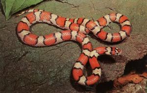 Snake - Red Milk Snake