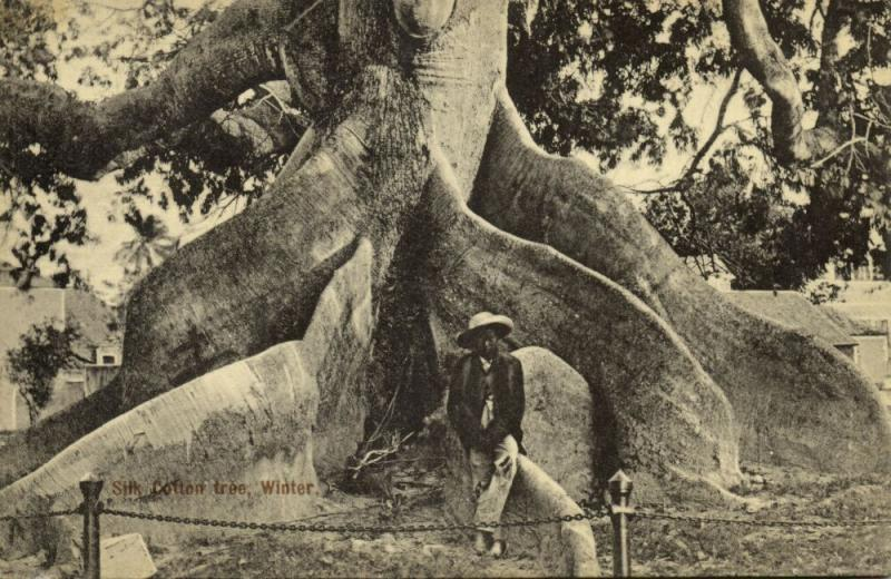 bahamas, NASSAU, Silk Cotton Tree in Winter (1910s)