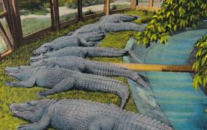 Arkansas Hot Springs Alligators At The Alligator Farm