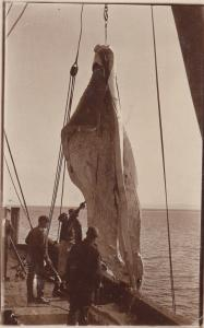 RP: Whaling in Jervis Bay, N.S.W. , Australia , 00-10s ; Hosting the Blubber ...