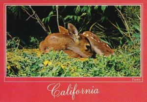 California Fawn