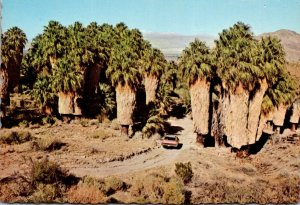 California Palm Springs Washingtonia Palms In Andreas Canyon