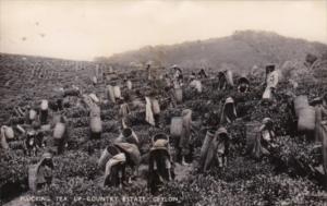 Sri Lanka Ceylon Natives PLucking Tea On Up Country Estate Real Photo
