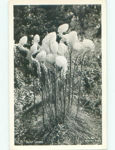 Old rppc NATURE - CLOSE-UP VIEW OF BEAR GRASS o2419