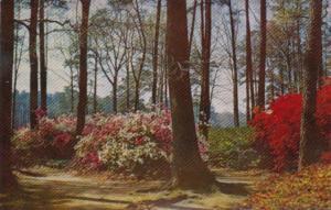 Virginia Flame and Vitatae Fortunei Azaleas At Norfolk Azalea Gardens