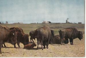 BUFFALO HERD IN WEST TEXAS, unused Postcard