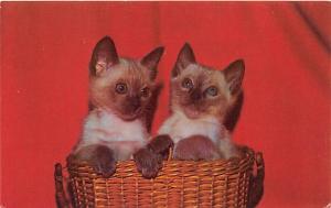 Cat Post Card Old Vintage Antique Siamese Kittens Unused