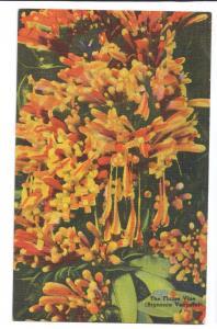 Flame Vine Florida FL Vintage Tichnor Linen Postcard Flower