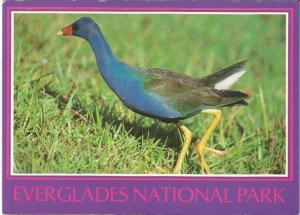 Purple Gallinule Royal Palm Everglades National Park Michael H. Francis Postcard