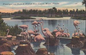 Florida Miami Flamingos and Nests At Hialeah Race Track 1951