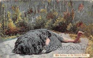 Hen Setting, Ostrich Farm 1912