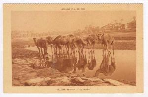 Camels at water hole in desert, 1930