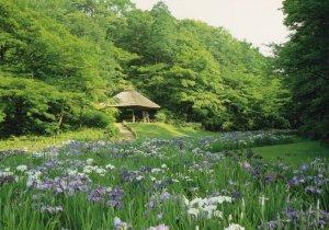 Vintage Iris Garden Meiji Shrine Japan Postcard