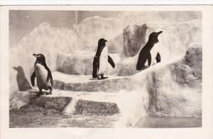 Illinois Chicago John G Shedd Aquarium Galapagos Penguins Real Photo