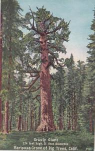 California Grizzly Giant Mariposa Grove Of Big Trees